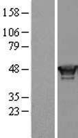 NBL1-15372 - RING1 Lysate