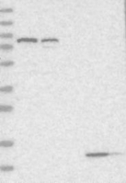 NBP1-82312 - RINT1