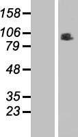 NBL1-15373 - RINT1 Lysate