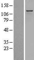 NBL1-13793 - RIP140 Lysate