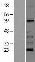 NBL1-15377 - RIPK1 Lysate
