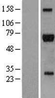 NBL1-15378 - RIPK2 Lysate