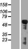 NBL1-15379 - RIPK3 Lysate