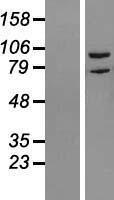 NBL1-15381 - RIPK5 Lysate