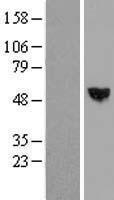 NBL1-15750 - RISC Lysate
