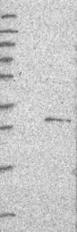 NBP1-88089 - FAM82B