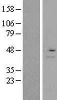 NBL1-15389 - RMND5A Lysate