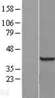 NBL1-15223 - RNA binding motif protein, X-linked 2 Lysate