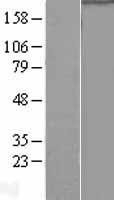 NBL1-14579 - RNA polymerase II Lysate