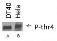 NBP1-49546 - POLR2A
