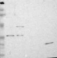 NBP1-88423 - RNASE11