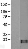NBL1-15394 - RNASE13 Lysate