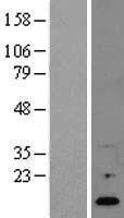 NBL1-15396 - RNASE4 Lysate