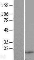 NBL1-15397 - RNASE4 Lysate