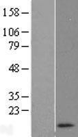 NBL1-15401 - RNASEK Lysate