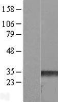 NBL1-15405 - RND3 Lysate