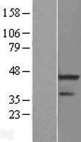 NBL1-15411 - RNF113A Lysate