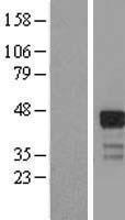 NBL1-15418 - RNF126 Lysate