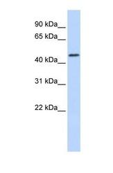 NBP1-62487 - RNF133