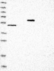 NBP1-81212 - RNF135