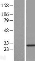 NBL1-15426 - RNF141 Lysate