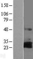 NBL1-15427 - RNF144A Lysate