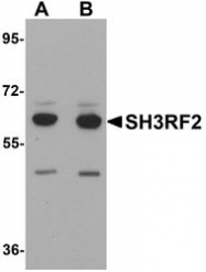 NBP1-76284 - SH3RF2 / RNF158
