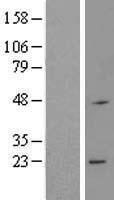 NBL1-15439 - RNF183 Lysate