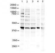 NBP1-77826 - RNF2