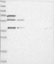 NBP1-88712 - RNF2