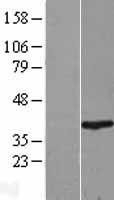 NBL1-15442 - RNF2 Lysate