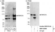NBP1-40358 - RNF219