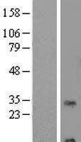 NBL1-15447 - RNF24 Lysate