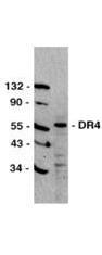 NBP1-77904 - RFI / RNF34