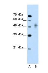 NBP1-53108 - RNF38