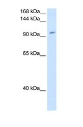 NBP1-53086 - RNF40