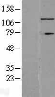 NBL1-15455 - RNF40 Lysate