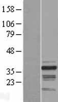NBL1-15456 - RNF41 Lysate