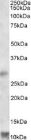 NBP1-46159 - RNF7