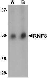 NBP1-77166 - RNF8
