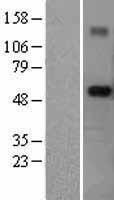 NBL1-17309 - RNF89 Lysate