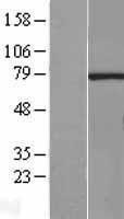 NBL1-15461 - RNGTT Lysate
