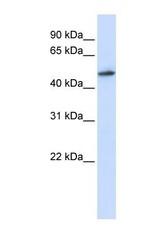 NBP1-57390 - RNMT