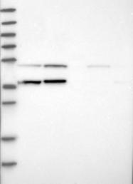 NBP1-83844 - RNMTL1