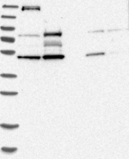 NBP1-83845 - RNMTL1