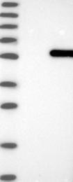 NBP1-86282 - RNPEPL1