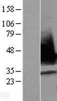 NBL1-15470 - RNPS1 Lysate