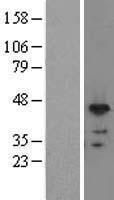 NBL1-15471 - RNPS1 Lysate