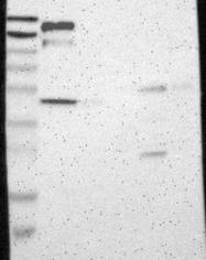 NBP1-88136 - CD136 / MST1R