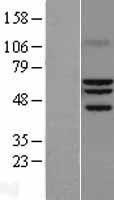 NBL1-15480 - ROR alpha Lysate